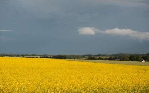 Jos minusta tulisi maanviljelijä, viljelisin varmaankin rypsiä esteettisistä syistä.
